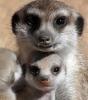 Reserva africana: Madre Suricata