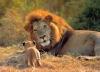 Reserva africana: leones peligrosos