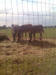 sophie sharlet rosie jack james - Cebra (3 años)