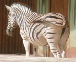 Cebra [Touroparc] Un beau Zèbre - Cebra  (Acaba de nacer)