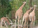 [Touroparc] Famille de Girafe - Jirafa