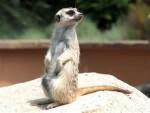 suricata - Suricata (3 años)