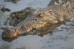crocodil - Cocodrilo Macho (13 años)
