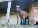 Cabra - (4 años)