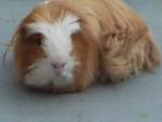 Conejillo de indias de pelo largo - Macho (1 año)