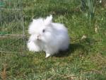 Conejo coton - Macho (3 años)