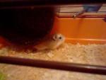 Hamster - (1 año)