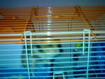 Hamster remy - Macho (1 año)