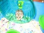 Hamster - Macho (1 año)