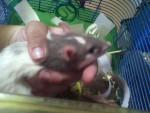 Rata - (10 meses)