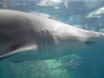 Tiburón - (3 años)