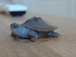 Tortuga - (1 año)