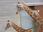 Girafe - (1 año)
