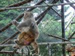 Mono singe -   (Acaba de nacer)