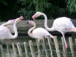 Flamingo flamant rose -  Hembra (0 meses)