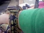 Serpiente Tim -  Macho (Acaba de nacer)